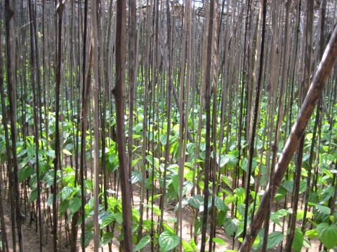 Betel leave cultivation